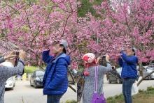 ติง นักท่องเที่ยว อย่าดึงกิ่ง'ซากุระไทย' ถ่ายรูป!