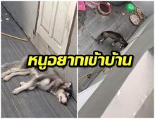 สุดเศร้า! เจ้าของใจร้าย ขังหมาไซบีเรียนไว้หลังบ้าน ตากเเดด - ตากฝน ลงโทษเพราะกวนเมียท้อง