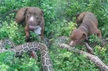 """แชร์สนั่น!! พิทบลูขย้ำสยบ """"งูหลามตัวยักษ์"""" แถมนอนรออวดเจ้าของ!! (ชมภาพ)"""