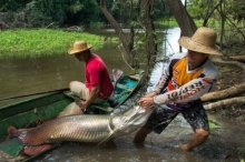 เกิดอะไรขึ้น !! ปลาช่อนอเมซอนกำลังจะหมดไปจากในอเมซอน