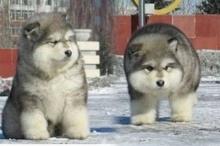 สาบานว่านี่คือหมา!!! อะไรจะเหมือนหมีขั้วโลกขนาดนั้น