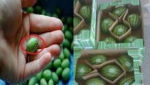 เจ๋งมาก! แตงโมจิ๋ว ขนาดเท่าเหรียญบาทผ่าดูข้างในยิ่งอึ้ง