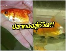 ปาฏิหาริย์มีจริง! สาวรักษาปลาทองเนื้อเปื่อย - ก้างหลุด ใครก็ว่าต้องตาย สุดท้ายรอดมาได้