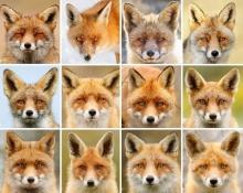"""มาดู """"ใบหน้าของจิ้งจอก"""" ที่พิสูจน์ว่าแต่ละตัว มีหน้าตาและนิสัยที่ต่างกันจริงๆ"""