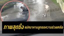 สิบตำรวจ เผยภาพสุดซึ้ง!! แม่หมาคาบลูกมาดักรถขอความช่วยเหลือ!!