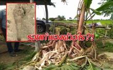 ใครรู้ช่วยบอก! ชาวบ้านตะลึง พบรอยเท้าปริศนา ขนาดยักษ์กลางทุ่ง กัดต้นกล้วยยับเยิน