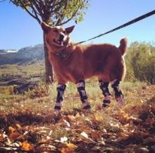 เจ้าตูบสูญเสียขา!! 4 ข้าง ถูกทิ้งให้ตาย แต่คนใจดีเปลี่ยนชีวิต แถมทำขาเทียมให้วิ่งอย่างร่าเริง!