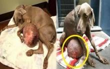 """สงสารจับใจ!! กู้ภัยไปเจอ """"สุนัขท้องโต"""" ถูกทิ้งไว้ เลยพาไปหาหมอ พอผ่าแล้วถึงกับอึ้ง เมื่อรู้ว่ามันคืออะไร?"""