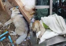 ผวาหนัก!!หมาไซบีเรียนข้างบ้านเจ้า ลอยด์ ถูกฆ่าตายแล้ว