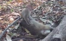 สลดใจนักท่องเที่ยว!! ลูกน้อยเฝ้ากอดร่างแม่ลิง..ที่ไร้วิญญาณ(คลิป)