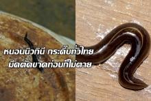 ขยะแขยง หนอนนิวกินี กระดึ๊บทั่วไทย มีดตัดขาดท่อนก็ไม่ตาย(คลิป)