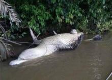 ผงะ จระเข้ นอนอืดหงายท้องริมแม่น้ำ!! พอรู้ความจริงสงสารจับใจ!!(ชมภาพ)