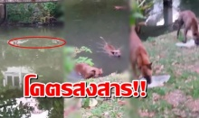 โคตรสงสาร! หมา 2 ตัว ว่ายน้ำข้ามฝั่ง มากินข้าวประทังชีวิต ที่มีคนใจบุญเอามาให้(มีคลิป)