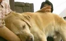 สุนัขนำทางคนตาบอด ไม่ได้เจอเจ้านายมา 11 ปี มาดูกันว่าทั้งสองยังจะจำกันได้ไหม? (มีคลิป)