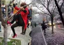 งามไส้!!นทท.จีน(อีกแล้ว)ปีน-ถีบต้นซากุระเพื่อเซลฟี่!!