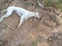 ชื่นชมน้องหมาสละชีวิตเพื่อเจ้านาย ต่อสู้กับงูเห่าจนตัวเองตาย