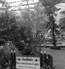 ต้นศรีตรัง ต้นไม้ของพ่อในศิริราช ที่เหลือเพียงความทรงจำ