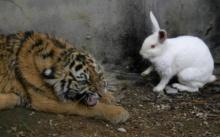จนท.จับกระต่ายน้อย มาเป็นอาหารให้เสือ เพื่อปลุกสัญชาตญาณนักล่า แต่สุดท้ายกลับพีคในพีค!!?