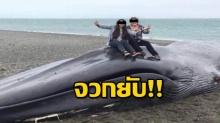 เกินไปมั้ย!! สาวชู 2 นิ้ว ปีนไปเซลฟี่บนซากวาฬสีน้ำเงิน หลังพบเกยตื้นตายบนหาด
