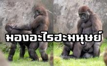 ช่างภาพตาดี!! แชะภาพกอริลลาหนุ่มสาว ขณะทำภารกิจสุดลับกลางสวนสัตว์ จนเขินหน้าแดง!!