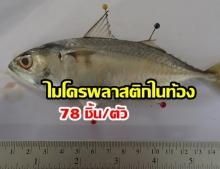 ฮือฮา! พบไมโครพลาสติกในท้อง ปลาทู ผู้เชี่ยวชาญเตือน! คนกินเสี่ยงโรค