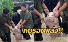 หมูรอดแล้ว!!! ชาวเน็ตแห่แชร์!! ภาพหมูน้อยทำหน้ายิ้ม!! หลังจากถูกช่วยออกมาจากพื้นที่น้ำท่วม