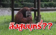 แห่ตำหนิ! สวนสัตว์อินโดฯ ปล่อยให้ลิงอุรังอุตังสูบบุหรี่?!
