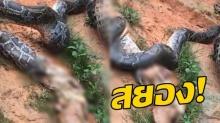 สุดสะพรึง! งูหลามขย้อนไก่ 5 ตัว ก่อนเลื้อยหนีตายจากชาวบ้าน (คลิป)
