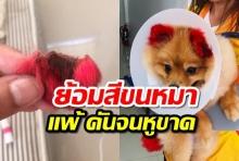 แชร์เตือนคนรักหมา เจ้าของพาน้องหมาไปย้อมสีขนหู แพ้หนักจนหูขาด