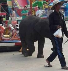 ใจบาป!!ลูกช้างเดินทั้งวัน ไม่ไหวจนล้มขาพับ คนเลี้ยงใช้เหล็กทิ่มให้เดินต่อ