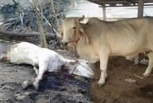 โจรเลว!!ฟันโหดยาย่าแม่วัวท้องขาด2ท่อน ลูกน้อยก็ไม่รอด อำมหิตสุดๆ(มีภาพ)