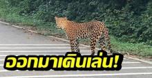 พบเสือดาวเดินเล่นสบายใจ ริมถนนป่าแก่งกระจาน คาดสัตว์ป่าปรับตัวได้ (คลิป)