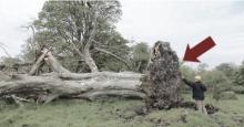 ช็อคตาตั้ง! หลังโค่นต้นไม้อายุราว 200 ปีลง เเต่เจอสิ่งเหลือเชื่อซ่อนอยู่ใต้ต้นไม้ มีอายุกว่า 817 ปี