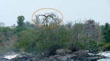 มีอยู่จริงหรือนี่! ต้นไม้ศักดิ์สิทธิ์ กกชี้ตาย ปลายชี้เป็น ในโลกใบนี้ มีเพียงต้นเดียวเท่านั้น