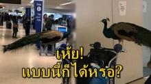งงดิ! สาว พา นกยูง มาสนามบิน หวังพาขึ้นเครื่องด้วย แต่ทำ ผู้โดยสารอึ้งกันทุกคน