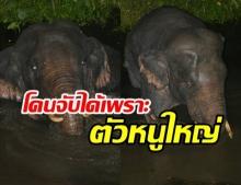 สุดฉลาด! ช้างป่าเขาใหญ่ เนียนแฝงตัวลงน้ำ เข้าสวนผลไม้ชาวบ้าน