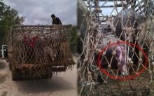 โซเชียลแตก!! รถบรรทุกกำลังขนวัวไป โรงฆ่าสัตว์ แต่เกิดเหตุการณ์อันน่าทึ่งระหว่างทาง โคตรพีค!