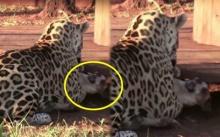 ใจหายใจคว่ำ!! จู่ๆ เสือดาวพุ่งตัวหาน้องหมา อ้าปากแยกเขี้ยวเตรียมจะขย้ำ แต่พอรู้ว่ามันทำอะไร? (มีคลิป)