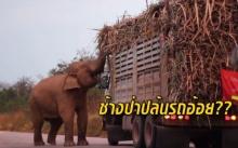 เผยคลิปช้างป่า วางแผนปิดถนนปล้นรถอ้อย??