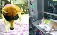 ปาฏิหาริย์มีจริง เจ้า ลอยด์ หมาถูกตัดขา อาการดีขึ้น