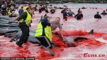 ทะเลสีเลือด!! เทศกาลสังหารฝูงวาฬของชาวเดนมาร์กกำลังโดนวิจารณ์หนัก (คลิป)