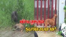 สุดผวา!! พิทบลู 3ตัว รุมกัดหมาพันธุ์ไทย ฉีกเนื้ออย่างสยดสยอง!!