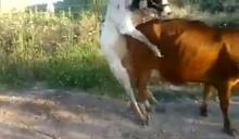 แชร์ว่อนคลิปเด็ด18+! วัวหนุ่มสุดคึก นัดฟีเจอริ่งสาว เล่นท่ายาก นี่แหละที่มาของคำว่า เงิบ