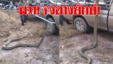 ผวา! ชาวบ้านพบงูจงอางยาวกว่า 4 เมตรกลางสวนปาล์ม (คลิป)