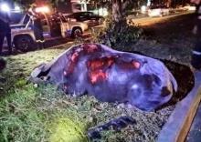 สลด!! ควายแม่ลูกอ่อนโดดลงรถ ขณะถูกขนไปโรงฆ่าสัตว์