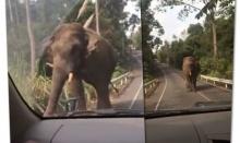 สาวโพสต์คลิปเจอเหตุการณ์ระทึก ขับรถเผชิญหน้าช้างป่าเขาใหญ่