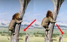 ได้โปรด ช่วยข้าด้วย! เมื่อเจ้าป่า ยอมทิ้งศักดิ์ศรี เผ่นหนีตายขึ้นต้นไม้ หลัง ฝูงสัตว์ เหล่านี้จ้องฉีกร่าง!