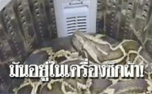 สาวได้ยินเสียงดังจากเครื่องซักผ้า พอเปิดออกดูถึงกับช็อก!! เจองูหลามยักษ์หนัก 50 กิโล