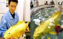 หนุ่มพบ ปลาทองตัวเป็นๆ ทองแท้ๆ ไม่ใช่แค่สี แถมมันดันมีส่วนผสมของล้ำค่าอยู่ด้วย!