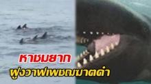 ดูด่วน! คลิปหาชมยาก ฝูงวาฬเพชฌฆาตดำ 50 ตัว ว่ายเกาะกลุ่มใกล้เกาะเต่า (คลิป)